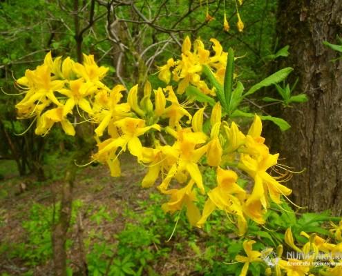 Цветущий рододендрон кавказский