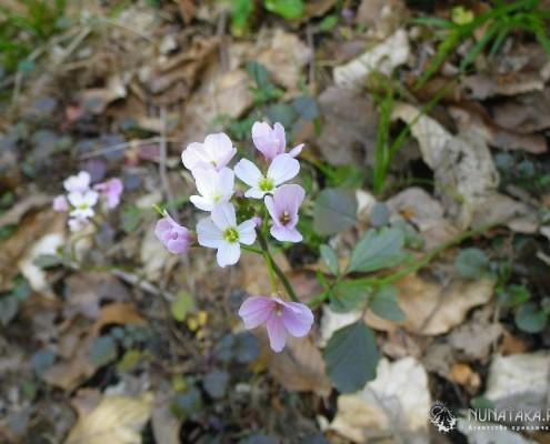 Весна. Цветет Зубатка. Экскурсия в сочи