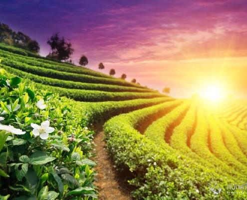 Экскурсии в сочи. Чайная плантация