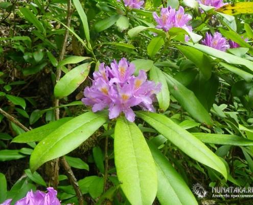 Цветущий рододендрон. Май