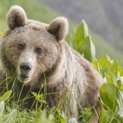 Медведь кавказский