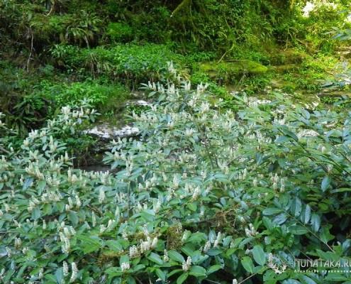 Цветет лавровишня