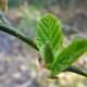 Молодые листочки