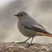 Горихвостка черноголовая