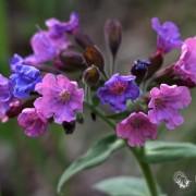 Медуница цветок