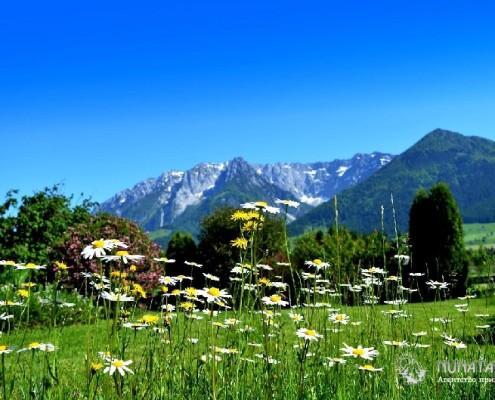 Альпийские луга с ромашками