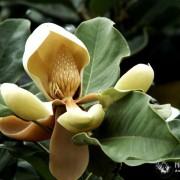 Цветок магнолии Делавея