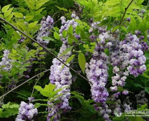 Цветы глицинии