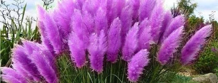 Трава пампасская
