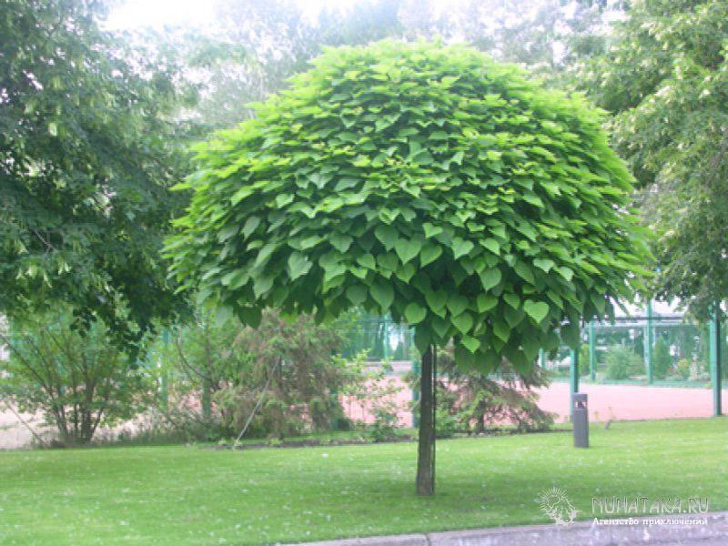 Катальпа. Макаронное дерево