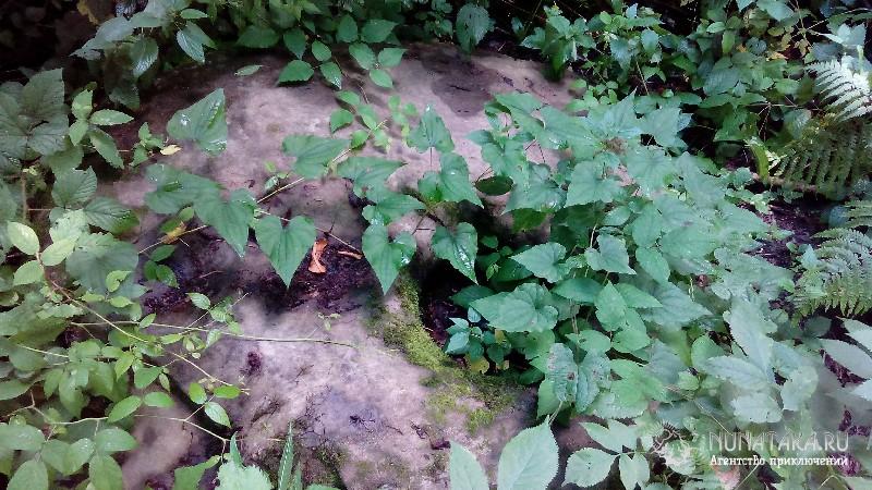 Плиты дольмена в густой растительности