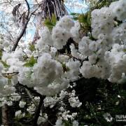 """Цветение сакуры в парке """"Южные культуры"""""""